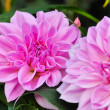 Two dahlias — Stock Photo #25122099