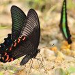 Butterfly(Papilio bianor) — Photo