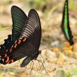 Butterfly(Papilio bianor) — Stock Photo