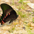Butterfly(Papilio dialis) — Photo