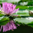 Stock Photo: Purple water lily(lotus)