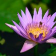 Stock Photo: Blooming purple lotus