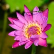 A blooming fuchsia lotus — Stock Photo