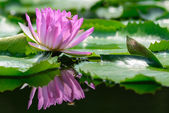 Purple water lily(lotus) — Stock Photo