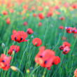 Red poppy filed — Stock Photo