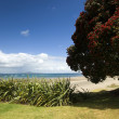 Auckland North Shore Beach with Pohutukawa tree. — Stock Photo