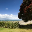 Auckland North Shore Beach with Pohutukawa tree. - Stock Photo