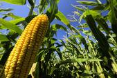 крупным планом кукурузы в кукурузном поле — Стоковое фото