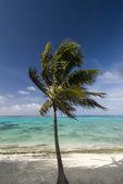 Palm tree blowing in the wind. Rarotonga — Stock Photo
