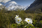 Mt Cook with Lily or Buttercups, National Park, New Zealand — Stock Photo