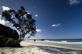 Pohutukawa tree on a North island beach, New Zealand. — Stock Photo