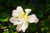 Hawaii güzel lotus — Stok fotoğraf