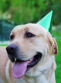 Labrador retriever with birthday hat — Stock Photo
