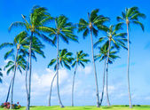 Coconut Palm tree on the beach in Hawai — Stock Photo
