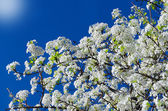 Spring white cherry flowers — Stock Photo