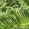 Tropical Fern unfurling — Stock Photo