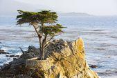 Lone Cypress Tree — Stock Photo