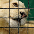 Lion prisoner - Foto de Stock