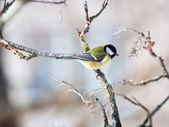Great Tit - Parus major — Stock Photo