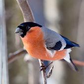 Bullfinch in winter — Stock Photo