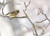 Greenfinch in winter day — Stock Photo