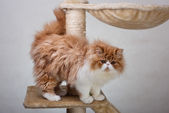 House Persian kitten Of Red and White Color — Stock Photo