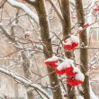 Clusters of berries mountain ash with stuck snow — Stock Photo