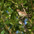 Stock Photo: Nightingale in summer among green foliage