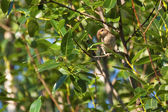 Nightingale in the summer among green foliage — Stock Photo