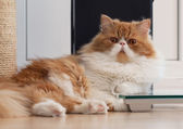 House Persian kitten Of Red and White Color — Stock fotografie