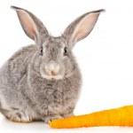 Gray rabbit with carrots — Stock Photo