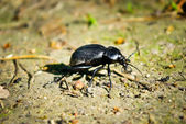 """Black beetle in the summer on a forest path"" — Foto Stock"