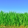 """The stems of young plants of grain crops in the field."" — Stock Photo"