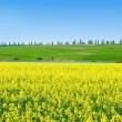 """Canola,rape crop on the background of the blue sky."" — Foto Stock"
