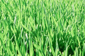 The young shoots of grain crops or grass. — Stock Photo