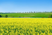 """Canola,rape crop on the background of the blue sky."" — Stock Photo"