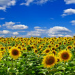 Field of sunflowers,on the background of blue sky — Stock Photo