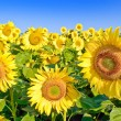 Ripe,young sunflowers on the blue sky background — Stock Photo #32697249