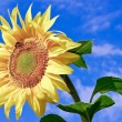 Young,ripe sunflower on the background of blue sky — Stock Photo