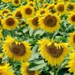 Field of ripe young sunflowers in the summer — Stock Photo