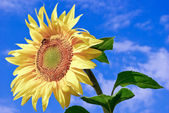 Young,ripe sunflower on the background of blue sky — Foto de Stock
