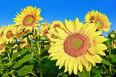 Ripe,young sunflowers on the blue sky background — Stock Photo