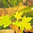 Yellow,fallen maple leaves in autumn forest — Stock Photo