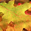 Yellow,fallen,dry oak leaf in autumn — Stock Photo