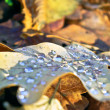 Dry,a fallen oak leaf in the drops of dew — Stock Photo