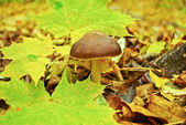 Mushrooms among fallen leaves in the autumn forest — Stock Photo