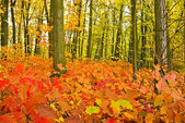 Red oak leaves on the trees in the autumn forest — Foto de Stock