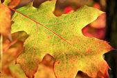 Yellow,fallen,dry oak leaf in autumn — Stock Photo