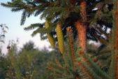 Pine Cone — Foto de Stock