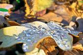Dry,a fallen oak leaf in the drops of dew — Stock Photo